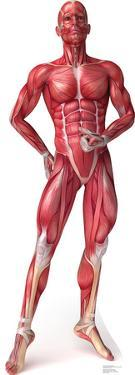 Anatomy Muscle System Lifesize Cardboard Cutout