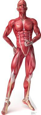 Anatomy Muscle System Lifesize Standup