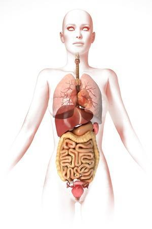 Digestive System Posters at AllPosters.com