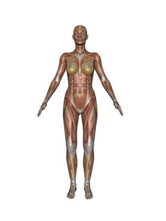 Anatomy of Female Muscular System, Front View