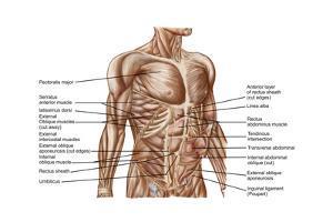 Anatomy of Human Abdominal Muscles