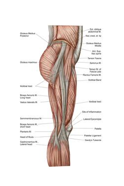 Anatomy of Human Thigh Muscles, Anterior View