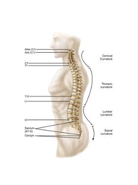 Anatomy of Human Vertebral Column, Left Lateral View