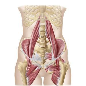Anatomy of Iliopsoa, also known as the Dorsal Hip Muscles