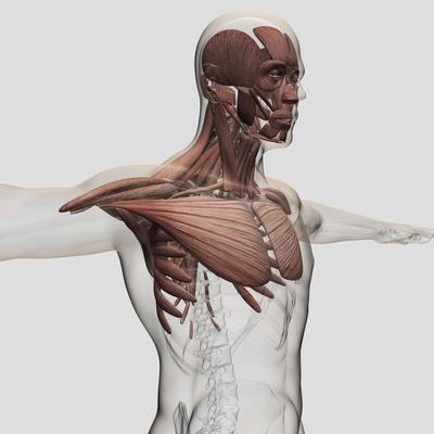 https://imgc.allpostersimages.com/img/posters/anatomy-of-male-muscles-in-upper-body-anterior-view_u-L-PN920O0.jpg?p=0