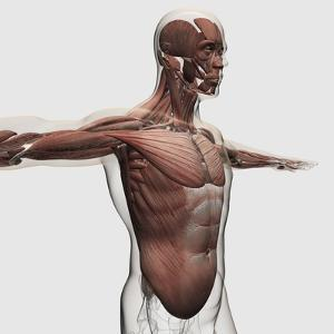 Anatomy of Male Muscles in Upper Body, Side View