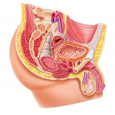 Anatomy of Male Reproductive Syste