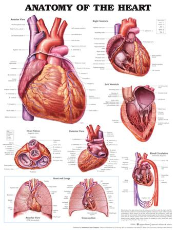Anatomy of the Heart Anatomical Chart Poster Print
