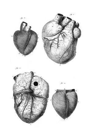 https://imgc.allpostersimages.com/img/posters/anatomy-of-the-heart_u-L-PS1ASZ0.jpg?artPerspective=n