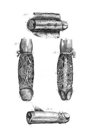 https://imgc.allpostersimages.com/img/posters/anatomy-penis-18th-c_u-L-PS142N0.jpg?artPerspective=n