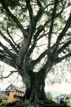 Ancient Pipal Tree