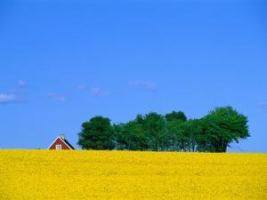Bright Yellow Rapefields and Red Roofed Farmhouse on the Kulla Peninsula, Skane, Sweden by Anders Blomqvist