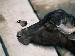 Buffalo with Common Myna (Acridotheres Tristis), Varanasi, India by Anders Blomqvist