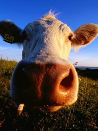 Close-Up of Cow's Nose at Glumslovs Backar, Landskrona, Skane, Sweden by Anders Blomqvist