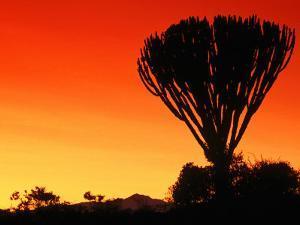 Giant Cactus Tree at Sunset, Lake Naivasha, Kenya by Anders Blomqvist