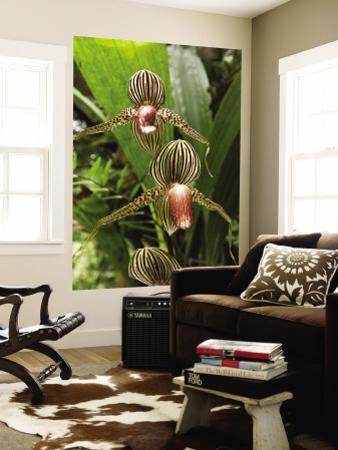 Rotschilds Slipper Orchid (Paphiopedilum Rothschildianum) by Anders Blomqvist
