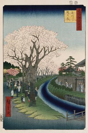 Cherry Blossoms, Tama River Embankment