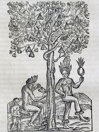 Nana Fruit, Tropical Medicinal Plant, Engraving from Universal Cosmology