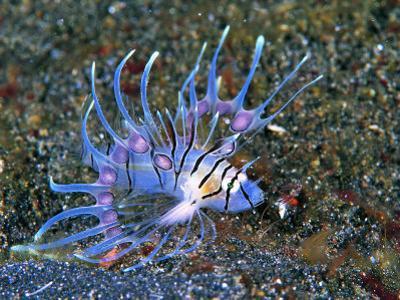 An Immature Specimen of Lion Fish by Andrea Ferrari