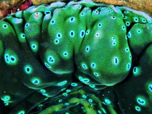 Bivalve of the Tridacna Genus by Andrea Ferrari