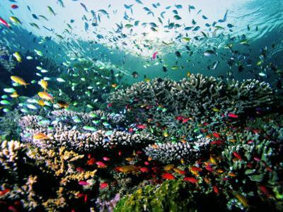 Madreporic Formation at Sipadan Island with Thousands of Little Chromis and Pseudanthias Fishes