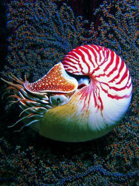 Nautilo (Nautilus Pompilius) by Andrea Ferrari