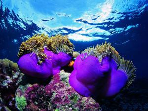 Sea Anemones (Heteractis Magnifica) and Clown Fish (Amphiprion Nigripes) by Andrea Ferrari