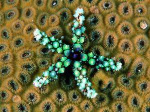 Starfish (Gomophia) by Andrea Ferrari