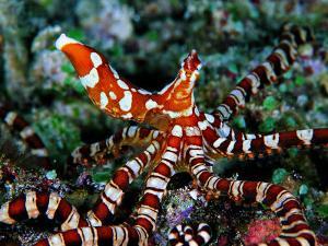 Wonder Octopus (Wonder Octopus or Wonderpus) by Andrea Ferrari