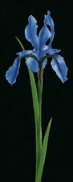 Iris by Andrea Fontana