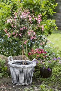 Fuchsia in White Basket by Andrea Haase