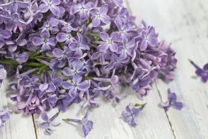 Lilac, Blossoms, Purple, Violet, Spring by Andrea Haase