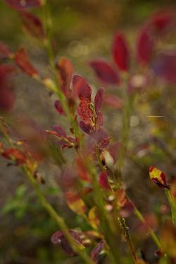 Autumn shrubs, Dalsland, Sweden by Andrea Lang