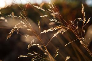 Blades of grass in the back light, Dalsland, Sweden by Andrea Lang