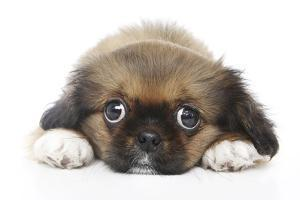 Puppies 049 by Andrea Mascitti