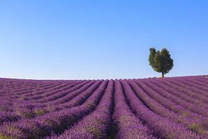 France, Provence-Alpes-Cote D'Azur, Plateau of Valensole, Lavender Field by Andrea Pavan