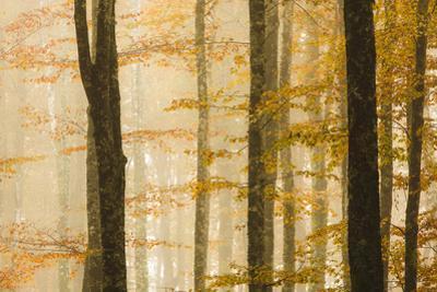 Italy, Veneto, Beech Trees by Andrea Pavan