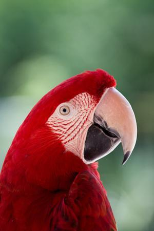 Red Macaw Parrot by Andrea & Tim photography