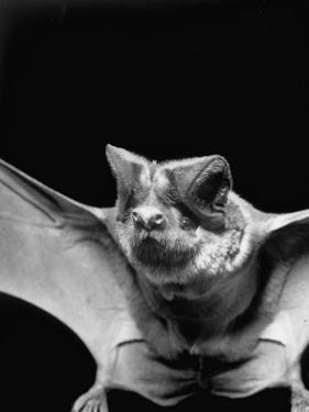 "California Mastiff Bat, A.K.A. ""Eumops"" by Andreas Feininger"