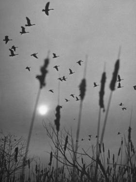 Canadian Geese by Andreas Feininger