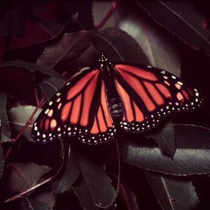 Close-Up of Monarch Butterfly by Andreas Feininger
