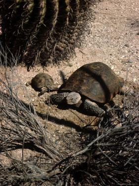 Desert Tortoise and Youngster in the Sonoran Desert by Andreas Feininger