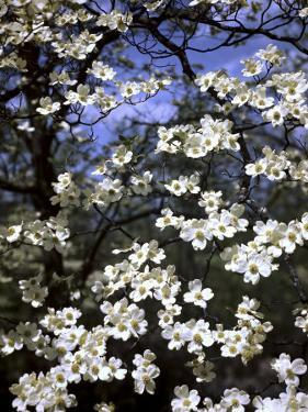 Dogwood Tree Covered in White Flowers in the Ozarks by Andreas Feininger