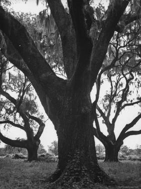 Dueling Oaks by Andreas Feininger