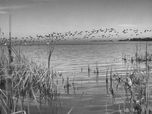 Large Flock of Canadian Geese Flying over Water by Andreas Feininger