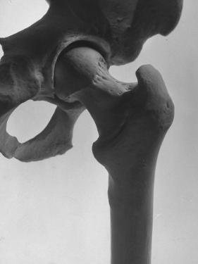 Skeletal Structures of a Human Pelvis Universal Joint, with Rounded Knob Allowing the Leg to Swivel by Andreas Feininger