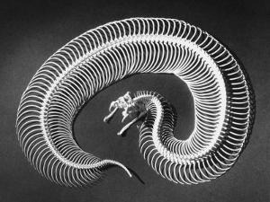 Skeleton of a 4-Foot-Long Gaboon Viper, Showing 160 Pairs of Movable Ribs by Andreas Feininger