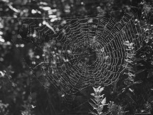Spider in Its Web: Orb Weaver's Web, Measuring 3 Feet Across by Andreas Feininger