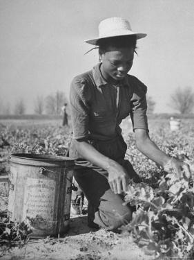 Young African American Sharecropper Woman Picking Peas in a Field on Farm by Andreas Feininger