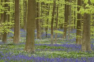 Belgium, Flanders, Hallerbos, Beech Forest, Copper Beeches by Andreas Keil